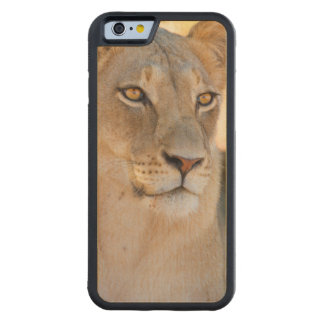 A portrait of a Lioness looking into the distance Maple iPhone 6 Bumper