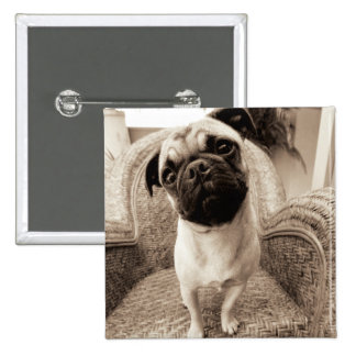 A Pug with its Head Titled to the Side 2 Inch Square Button