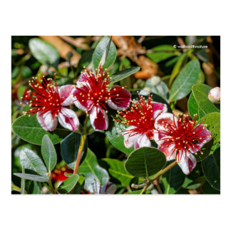 A Quartet of Pineapple Guava / Guavasteen Flowers Postcard