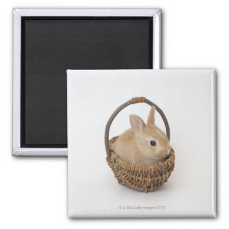 A rabbit is in a basket.Netherland Dwarf. Magnet