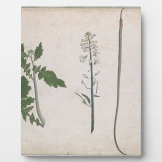 A Radish Plant, Seed, and Flower Plaque