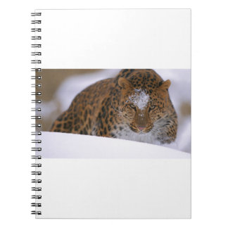 A Rare Amur Leopard Peers Over a Snowy Embankment. Notebook