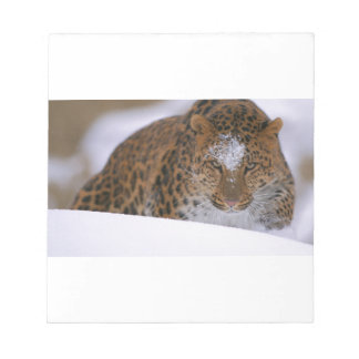 A Rare Amur Leopard Peers Over a Snowy Embankment. Notepad