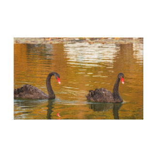 a rare exemplary of black swan on  Wrapped Canvas