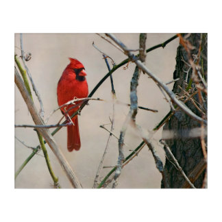 A Red Cardinal Bird on a Branch in the Woods Acrylic Wall Art