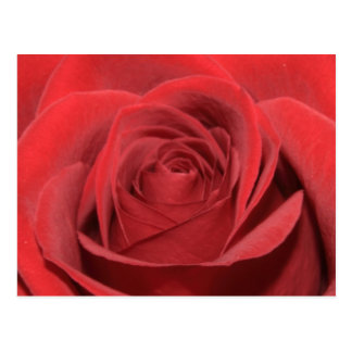A red rose postcard
