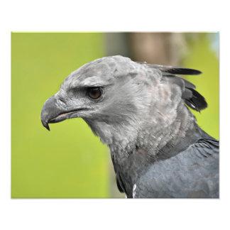 A regal harpy eagle art photo