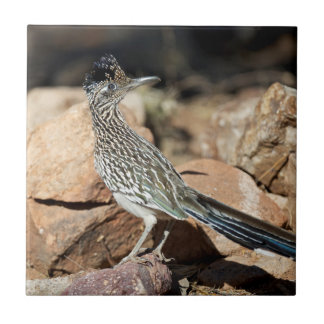 A Road runner pauses momentarily on its search Tile