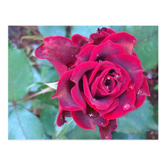 A Rose in Kenya Postcard