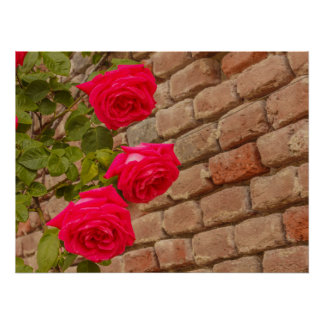 a roses climb on a brick wall poster