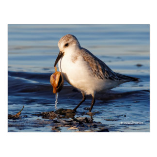 A Sanderling with a Nice Haul Postcard