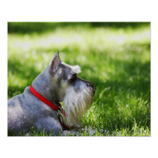 A Schnauzer laying in the grass Poster