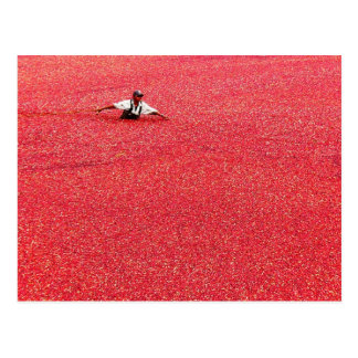 A sea of red cranberries postcard
