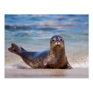 A seal on a beach along the Pacific Coast Postcard