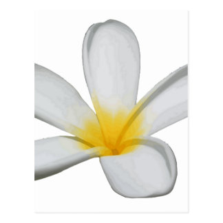 A Single Plumeria Flower Isolated Postcard
