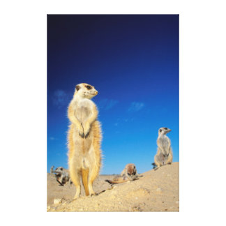 A small Suricate family interacting at their den Canvas Prints