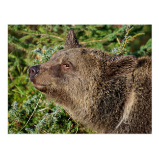 A Smiling Grizzly Bear Postcards