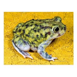 A spadefoot toad postcard