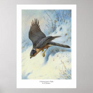 A Sparrow-hawk in Flight Poster