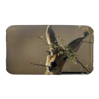 A Steenbok looking at the camera while it eats Case-Mate iPhone 3 Case