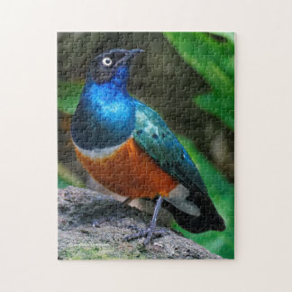 A Stunning African Superb Starling Puzzle