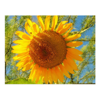 A Sunflower From Sunny Arizona Postcard