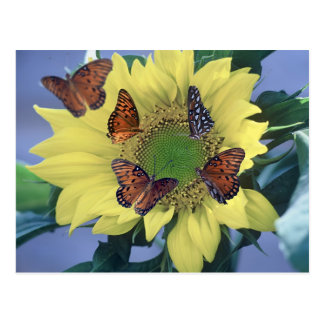A Sunflower with Several Butterflies Postcard