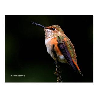 A Sweet Rufous Hummingbird Poses on the Fruit Tree Postcard
