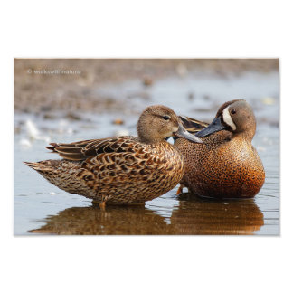A Tender Blue-Winged Teal Moment Photographic Print