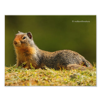 A Twitchy-Nosed Columbian Ground Squirrel Photo