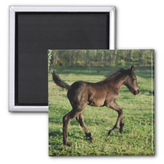 A two week old foals joy square magnet