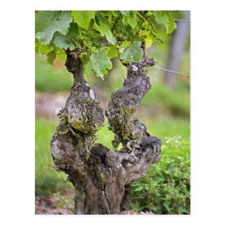 A very old vine in the Clos de l'Echo vineyard Postcard