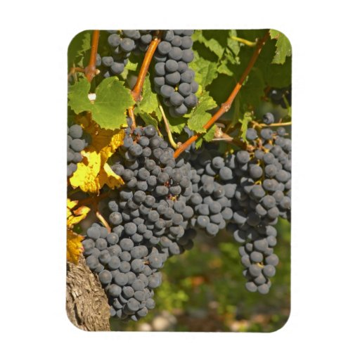 A vine with ripe Merlot grape bunches - Chateau Rectangular Magnet