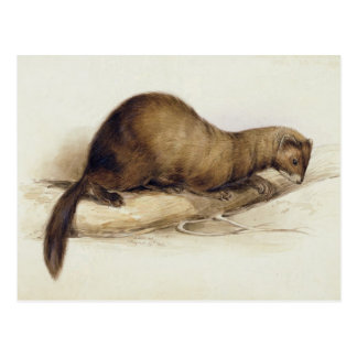A Weasel, 1832 (w/c, pen, ink, gouache and gum ove Postcard