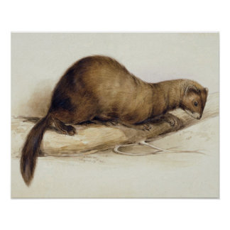 A Weasel, 1832 (w/c, pen, ink, gouache and gum ove Poster