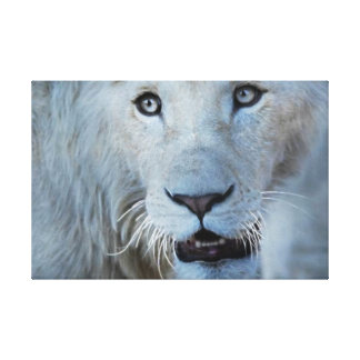 A white lion in Africa Stretched Canvas Prints