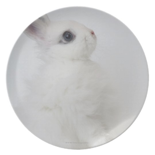 A white rabbit.Jersey Wooly. Plate