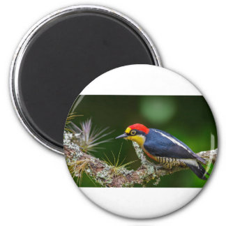 A Yellow Fronted Woodpecker in Brazil 2 Inch Round Magnet