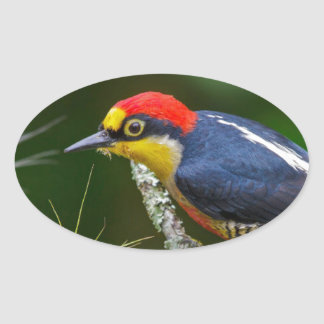 A Yellow Fronted Woodpecker in Brazil Oval Sticker