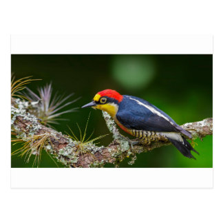 A Yellow Fronted Woodpecker in Brazil Postcard