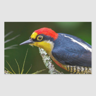 A Yellow Fronted Woodpecker in Brazil Sticker