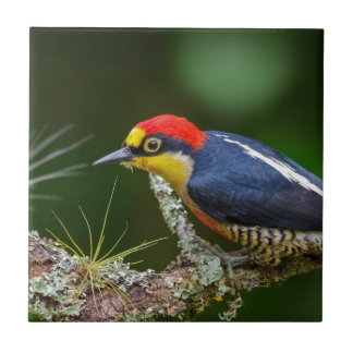 A Yellow Fronted Woodpecker in Brazil Tile