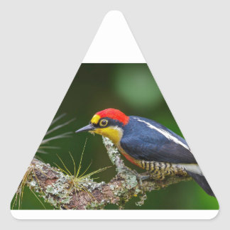 A Yellow Fronted Woodpecker in Brazil Triangle Sticker