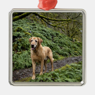 A yellow lab waiting on a trail for several metal ornament