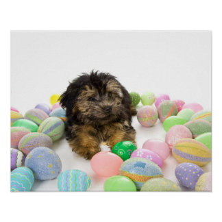 A Yorkie-poo puppy and Easter eggs. Poster
