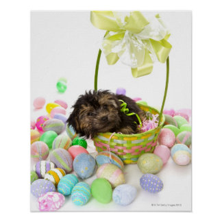 A Yorkie-poo puppy encountering an Easter basket Poster