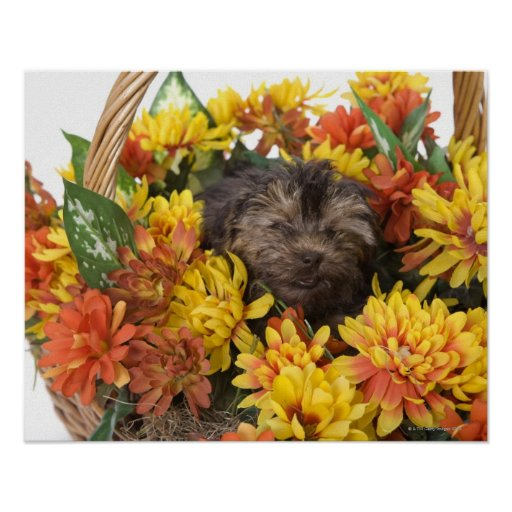 A Yorkie-Poo puppy in a basket of artificial Print