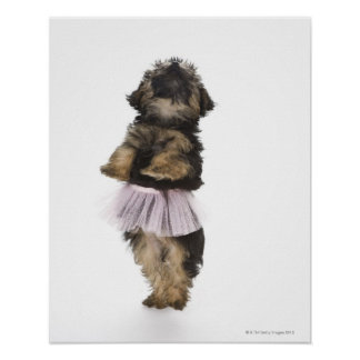 A Yorkie-poo puppy in a tutu on her hind legs. Poster
