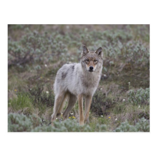 A young gray wolf trots across the tundra postcard