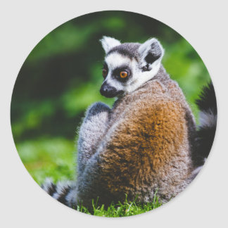 A Young Lemur, Animal Photography Classic Round Sticker